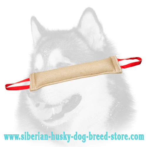 Huge Siberian Husky bite tug for bite developing